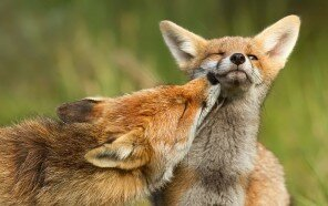 foxy-love-photographer-proves-that-foxes-are-extremely-loving-creatures-11-pics__880.jpg