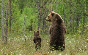 mother-bear-cubs-animal-parenting-2-57e3a1e41ab75__880.jpg