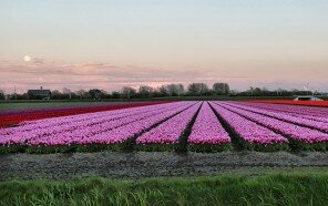 Netherlands_Fields_Tulips_Evening_526604_1280x664.jpg